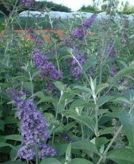 Buddleja 'Lochinch' - Butterfly Bush