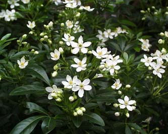 Choisya ternata  - Mexican Orange Blossom