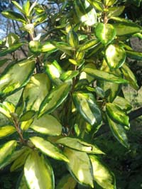 Eleagnus e. Limelight