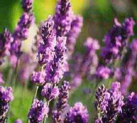 Lavandula 'Twickle Purple' - Lavender