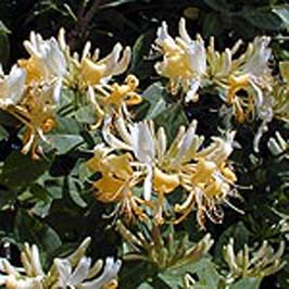 Lonicera 'Graham Thomas'