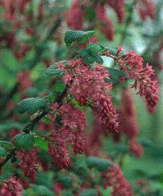 Ribes 'Pulborough Scarlet'